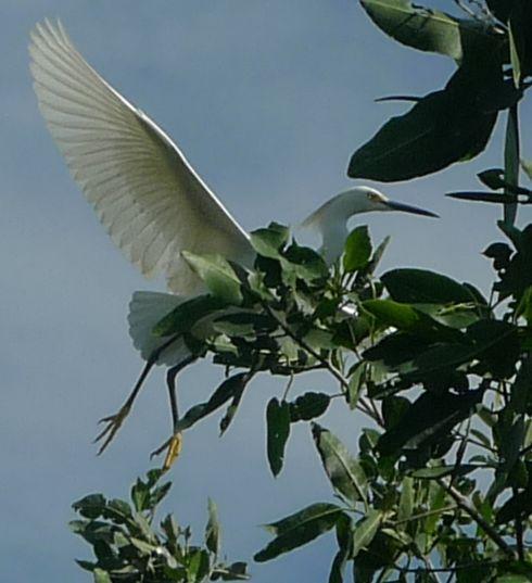mangroves P1480709 fly away