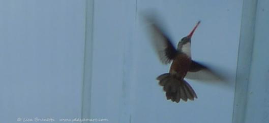 P1640687 HUMMINGBIRD