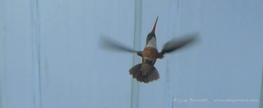P1640691 HUMMINGBIRD