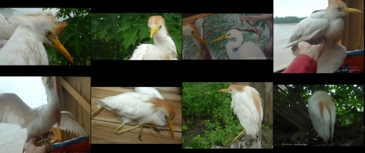 cattle egret thumbsa