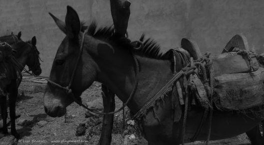 horses jama mule P1330557 grayscale