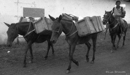 horses sta teresa P1490839 grayscale
