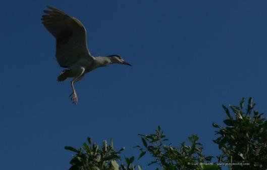 P1480854 night heron