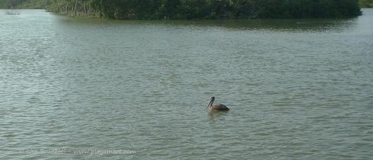 P1640521 riverhouse pelican