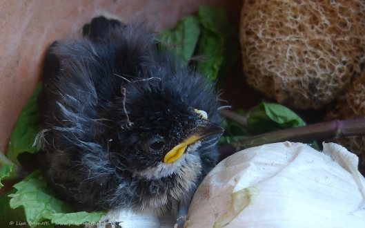 This baby bird appeared in the house - unfortunately it died that night.
