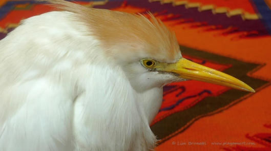 This cattle egret was waiting by the gate and was sick or wounded.  It died that night as well.