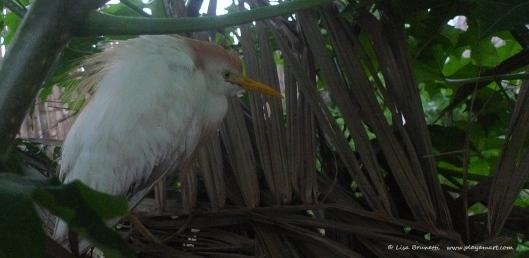 P1650881 cattle egret faux nest