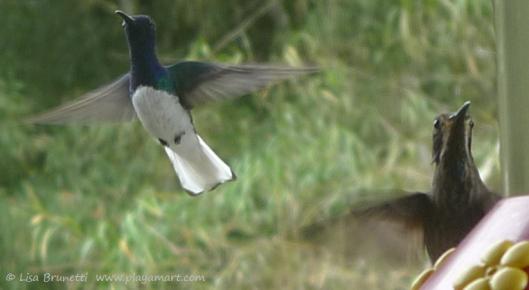 P1660523 hummingbird