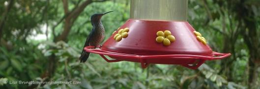 P1660546 mindo hummingbird