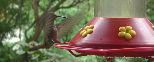 P1660547 hummingbird