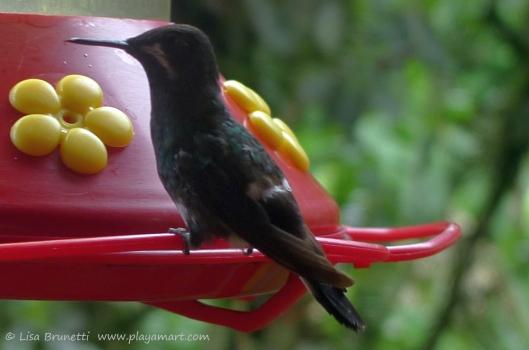 P1660550 hummingbird