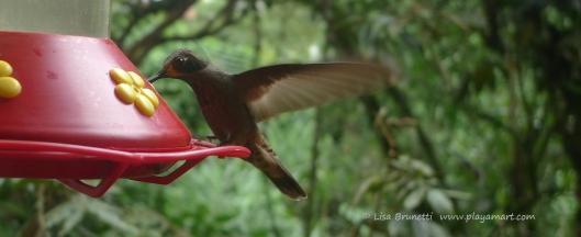 P1660554 mindo hummingbird