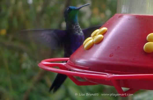 P1660557 hummingbird