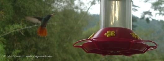 P1660582 mindo hummingbird