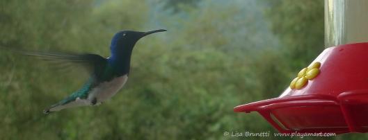 P1660587 mindo hummingbird