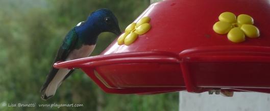 P1660592 mindo hummingbird
