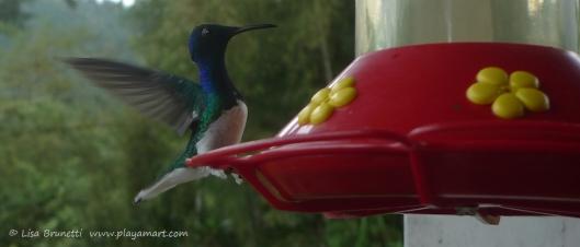 P1660595 mindo hummingbird