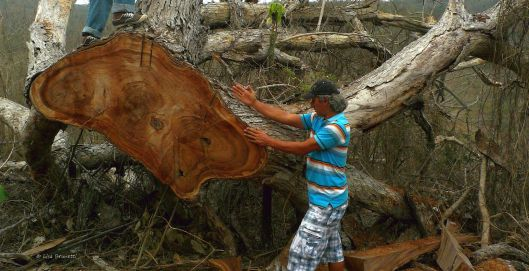 Sculptor  Rycardo Alcivar salvages the scraps from the carcass of a saman tree.