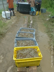 From the outlet pipe to the crate. After the water drains from the crates, the shrimp are dumped in the large containers.