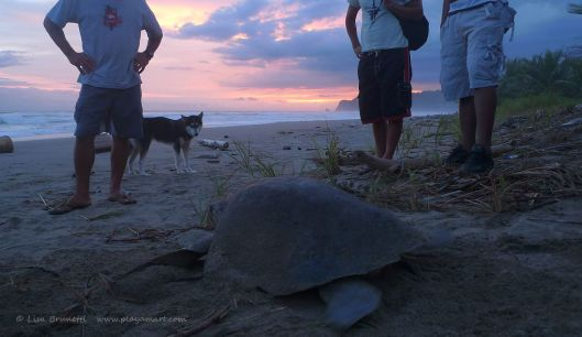 Eggs gathered, measurements taken, turtle tagges;  time for Mama to go home!