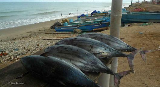 Fresh Tuna, Anyone?  Cruzita Ecuador