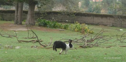 P1570121 hacienda guachala rabbit
