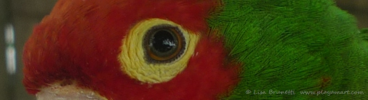 P1720757 PARROT eye closeup