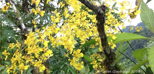 0 julie yellow orchid