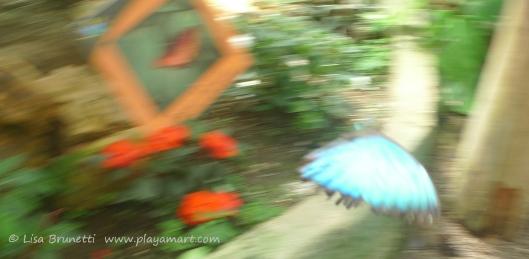 P1760962 butterfly morpho mindo