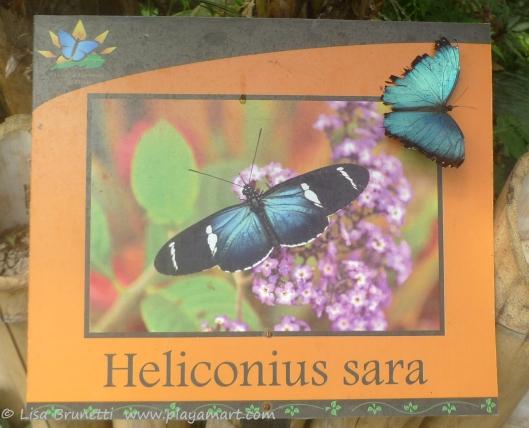 P1760968 butterfly morpho mindo