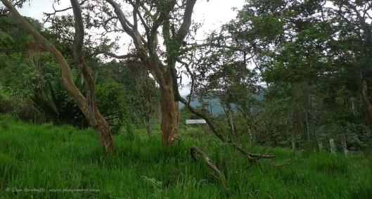 Guayava tree - (Guava)
