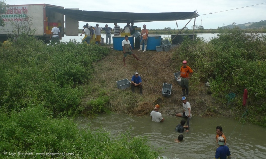 The pond is in the background, the discharge pipe is below water level, and the men manually operate the long net that catches the shrimp as they are flushed from the pond.