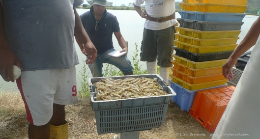 Shrimp harvest - buyer and seller keep separate records.