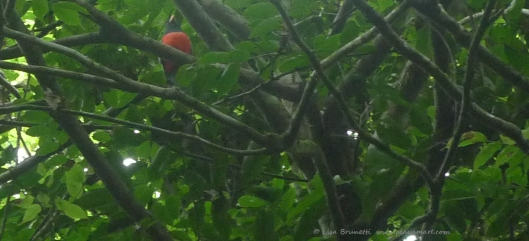 Bobby spotted the red-breasted trogon high in the canopy!