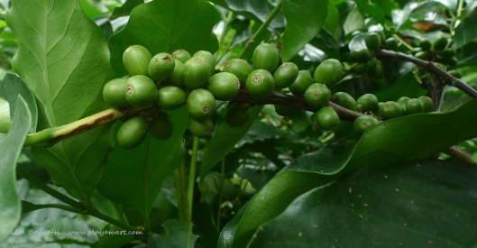 P1780250 COFFEE CHERRIES GREEN