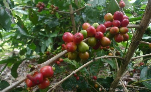 P1780256 COFFEE CHERRIES