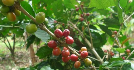 P1780282 COFFEE CHERRIES