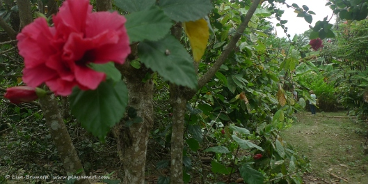 P1780411 hibiscus cynthia y bobby