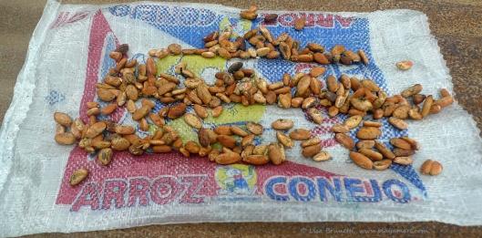 P1780518 cacao seeds