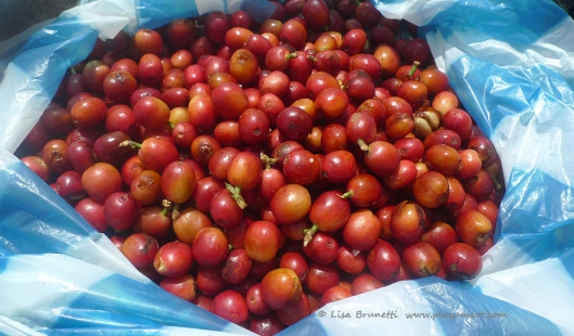 Red Coffee Cherries!