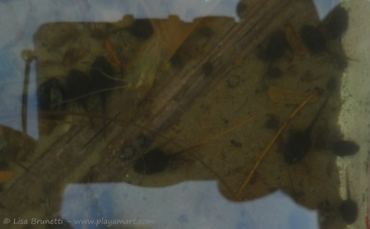 P1640536 tadpole reflections