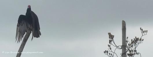 P1800368 vulture salutes