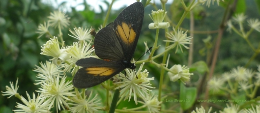 P1830413 CLEMATIS BUTTERFLY