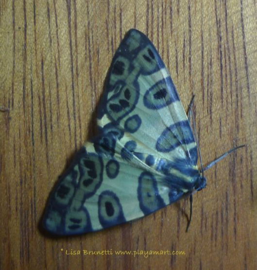 P1840520 SPOTTED MOTH MINDO