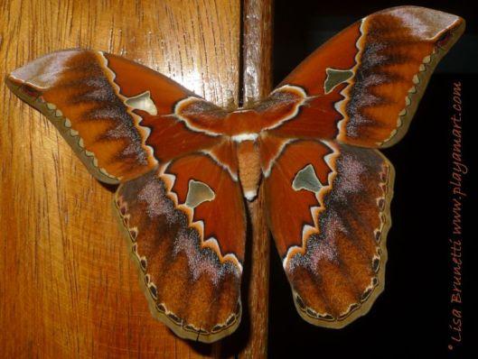 P1840587 cecropria moth