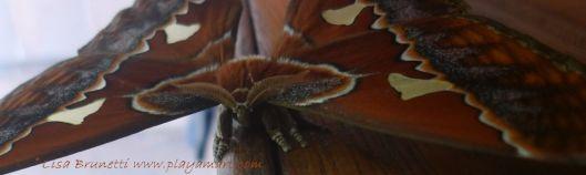 P1840617 cecropria moth mindo