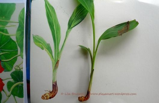 P1870501 ginger botanical