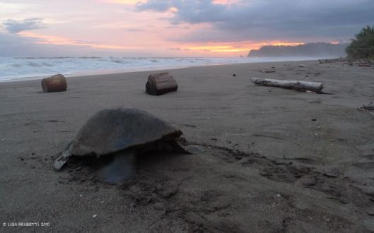 Watch the primal beauty of a turtle returning to the sea, and you'll stand in awe.