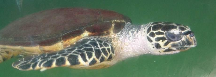 punta culebra P1210967 streamlined turtle