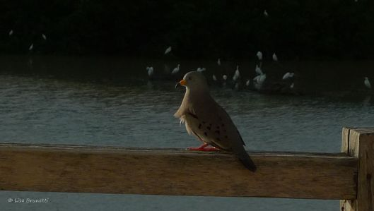 croaking ground dove - yes, it croaks!